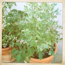 Baby blueberries sharing a pot with tomatoes