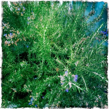 Potted wild rosemary