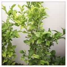 Lemon tree - yet to bear fruit!