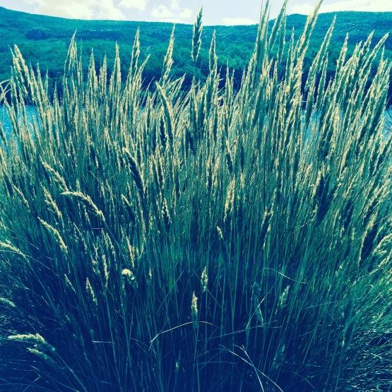 grasses1jpg