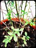 Blueberry bush